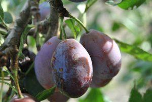 culture du prunier