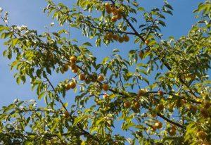 plantation prunier