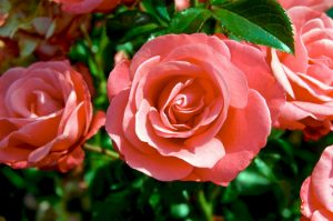 plantation rosier