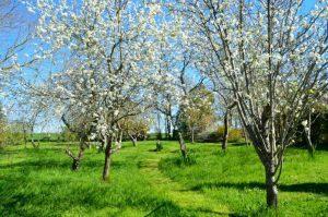 planter prunier