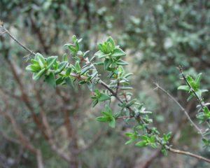 planter thym
