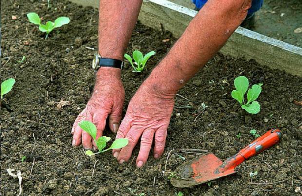 repiquage des plantes au jardin