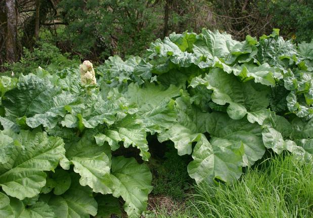 plantation rhubarbe