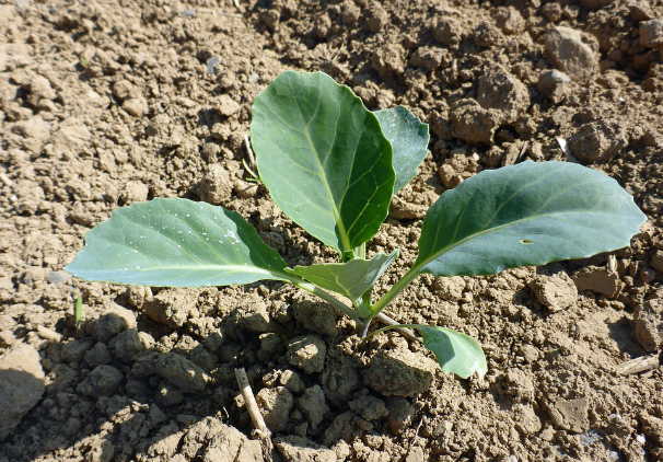 Plantation choux fleur glanage de chouxfleurs par le groupe glanage qubec dans un champ de - Quand planter les jacinthes ...